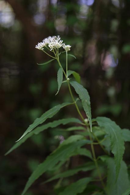 オオヒヨドリバナ(大鵯花)