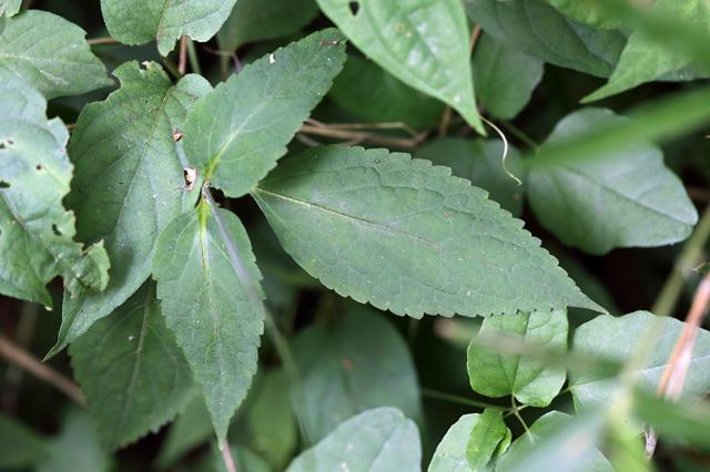 ナガバハエドクソウ(長葉蠅毒草)