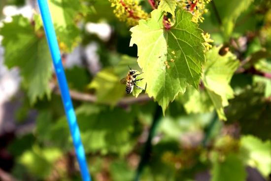 葉切り蜂_5237 (2)
