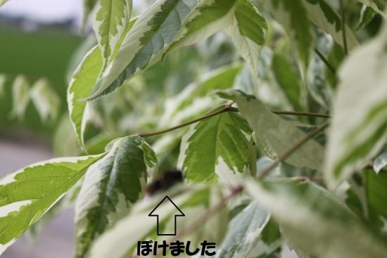 葉切り蜂_5273 (1)