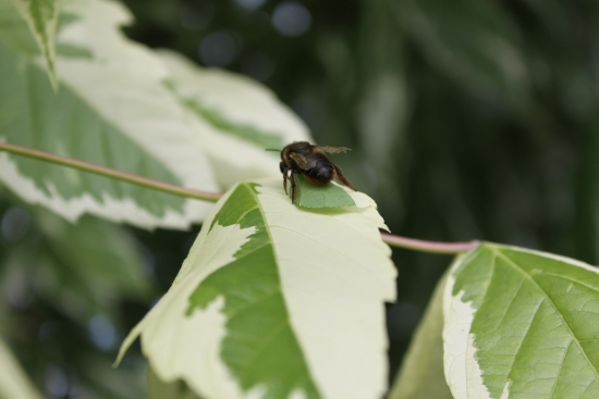 葉切り蜂_5273 (2)
