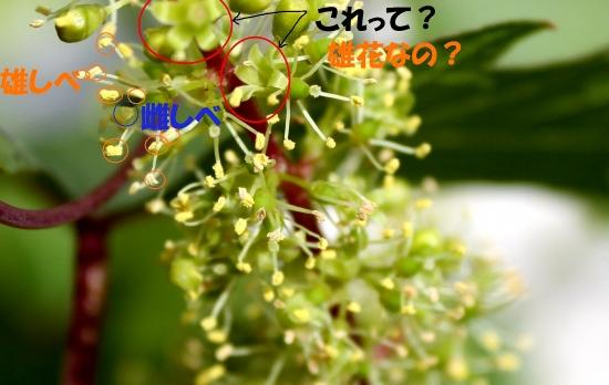 葡萄の花_5176 (3)