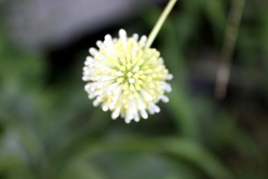 谷渡りの木(ムーンライトファンタジー)_5411 (2)