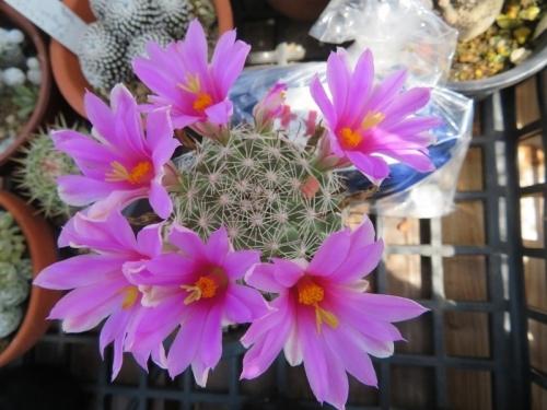 ■マミラリア・蓬莱宮(ほうらいぐう)(Mammillaria(=Bartschella) schumannii)~2018.07.14