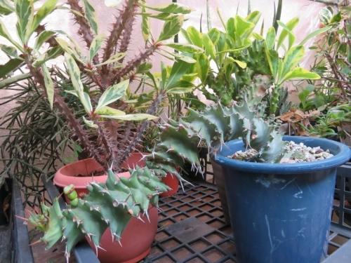 ユーフォルビア・トルチラマ(Euphorbia Tortirama)2018.07.19
