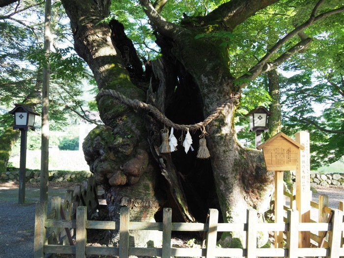弥栄神社の大欅