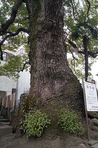 180225大雄寺のクスノキ②