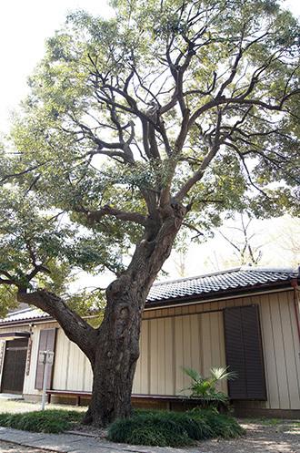 180404雷神社のスダジイ②