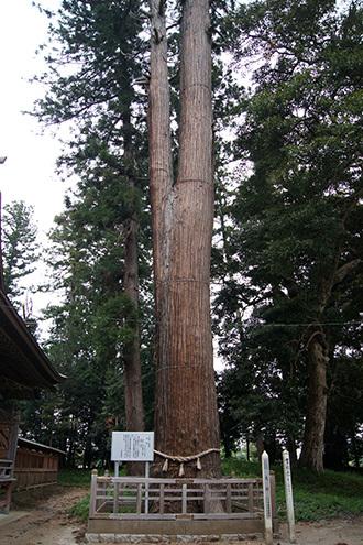 180423鹿島神社の大杉①