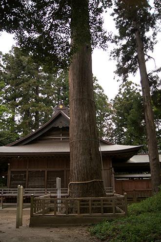 180423鹿島神社の大杉③