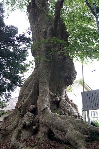 180423鹿島神社ケヤキ⑤