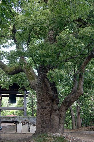180504安隠寺のクスノキ③