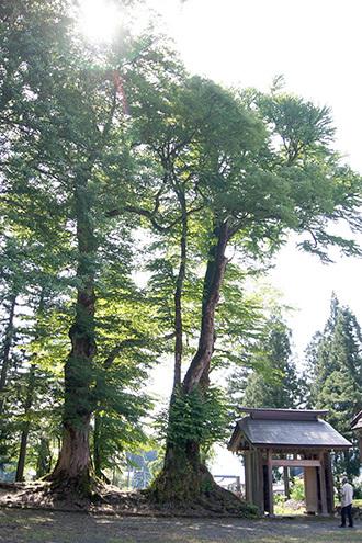 180607法音寺の欅・桂①
