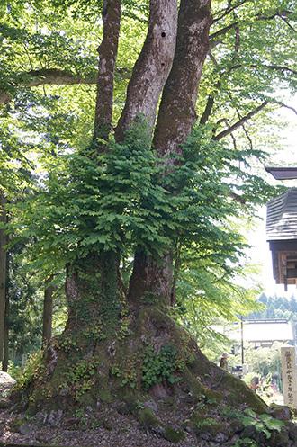 180607法音寺の欅・桂②
