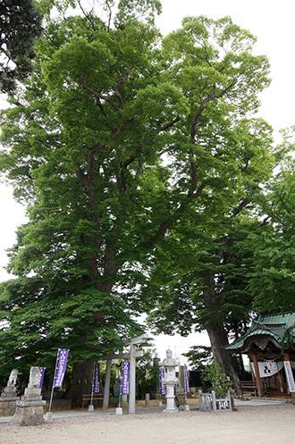 180704鹿島御子神社の大欅①