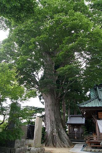 180704鹿島御子神社の大欅②