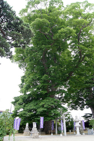 180704鹿島御子神社の大欅⑦