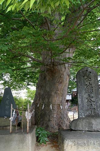 180704鹿島御子神社の大欅8