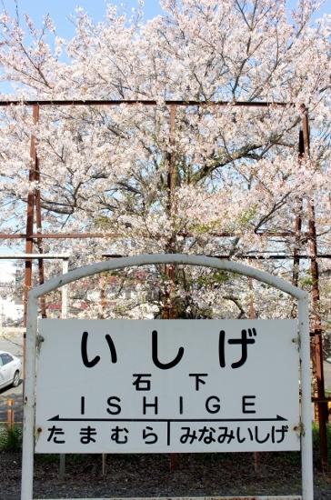⑥石下駅桜