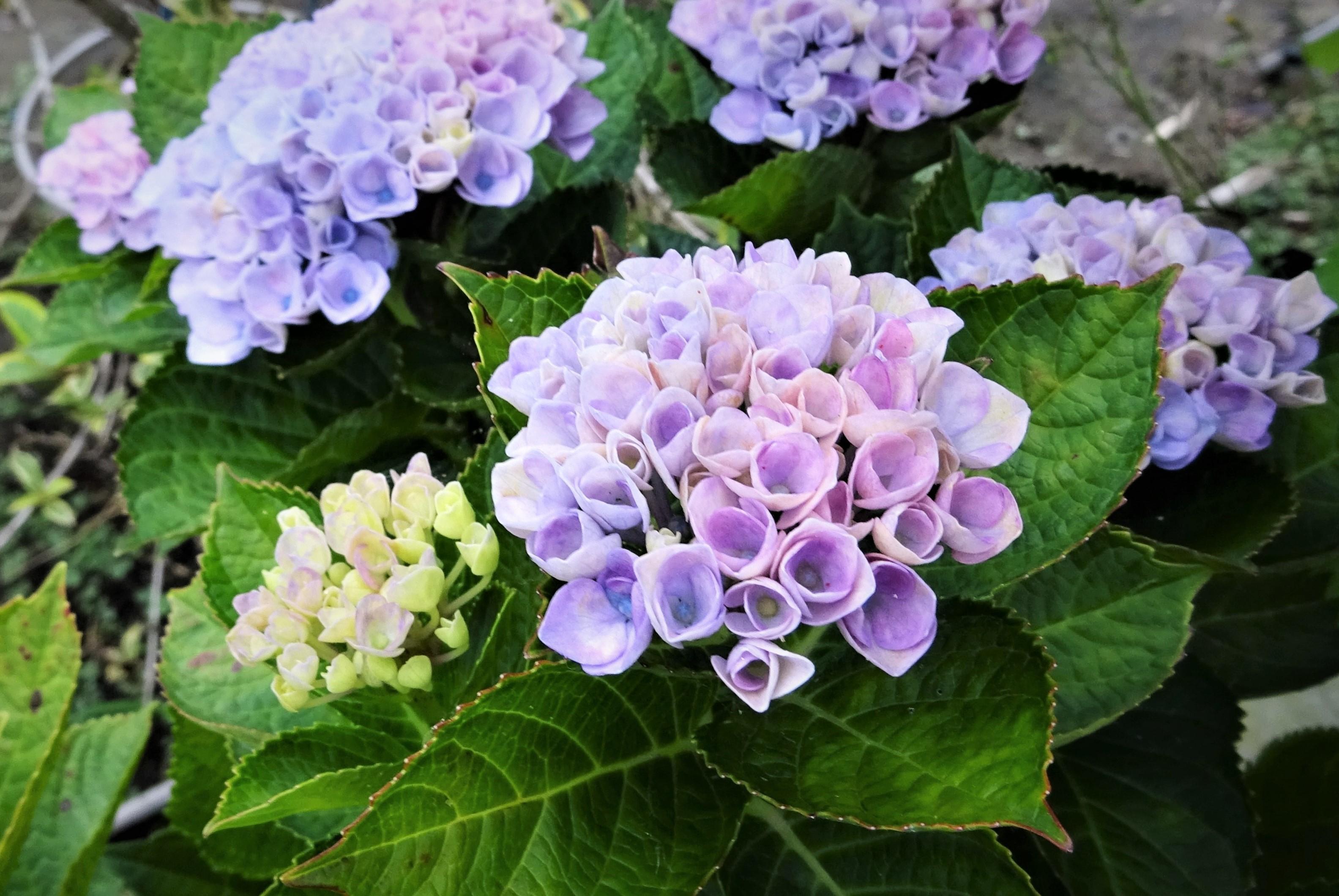 ●紫陽花⑩