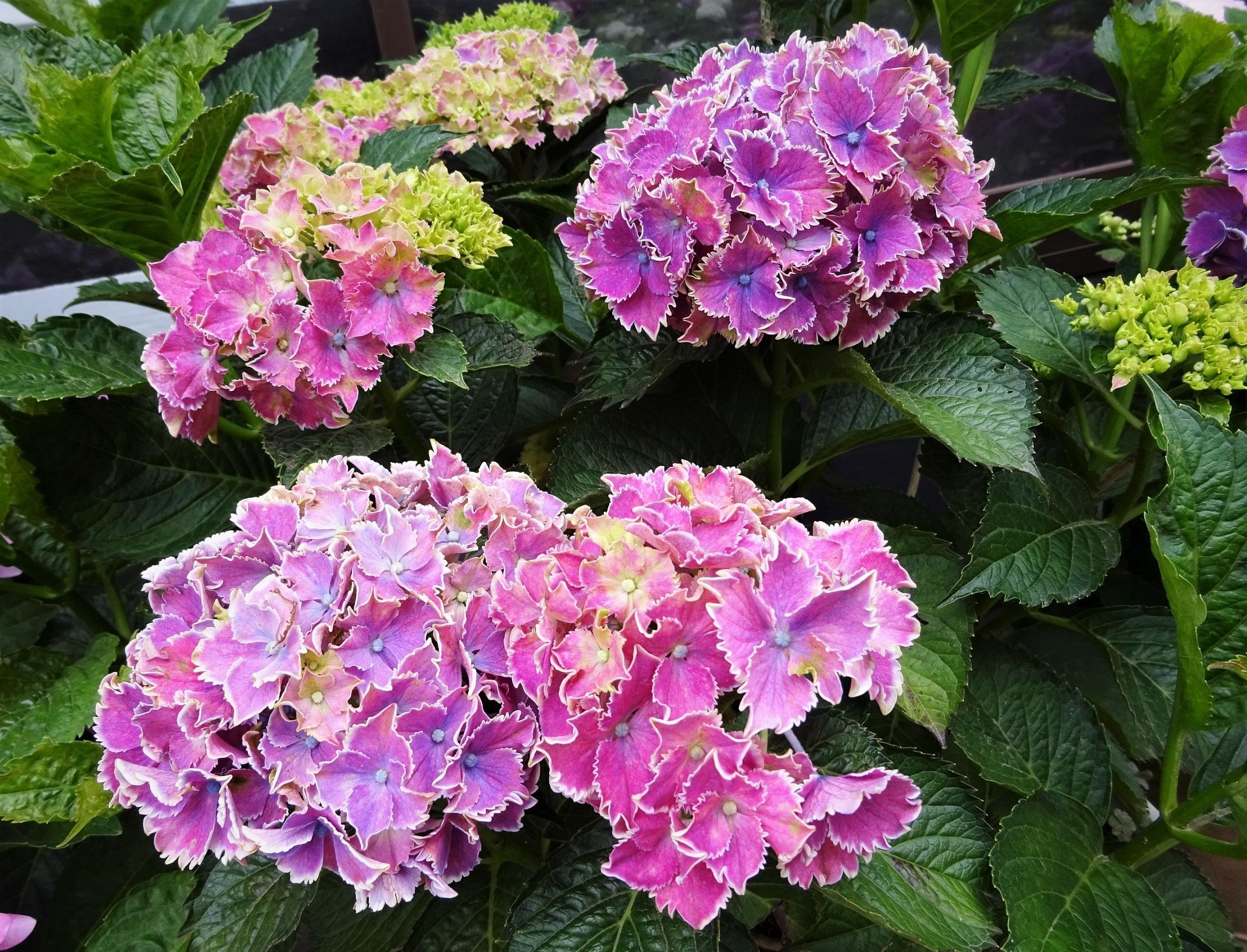 ●紫陽花⑫