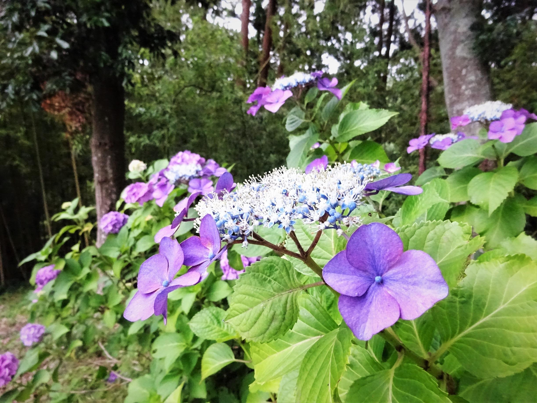 ●紫陽花⑭