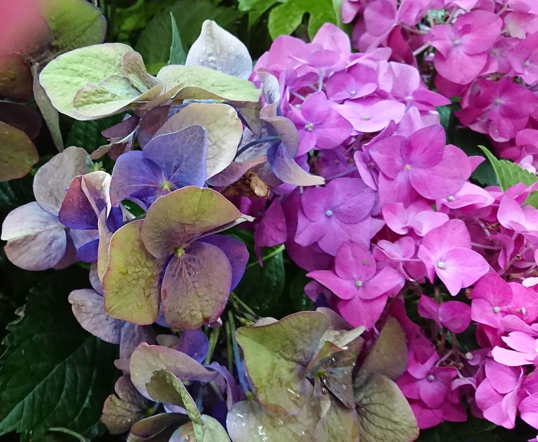 〇紫陽花⑵