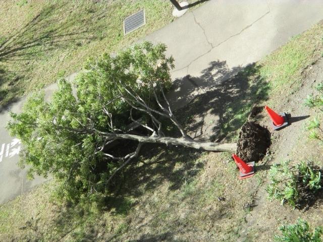 台風で倒れた公園の木