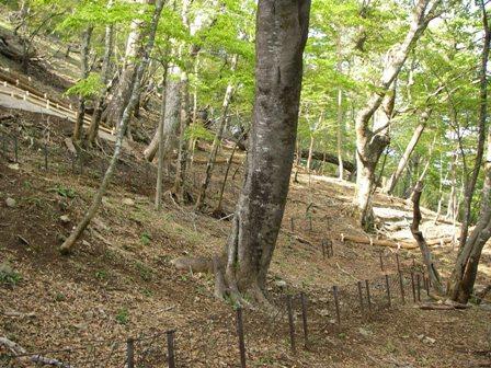 荒廃が進む丹沢山地のブナ林