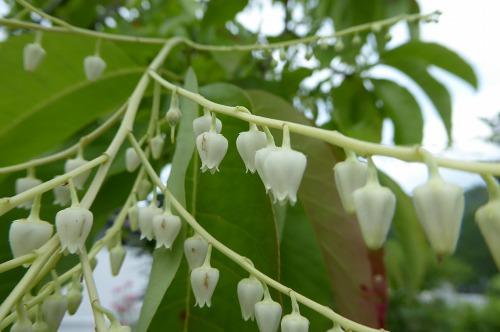 スズランの木の花