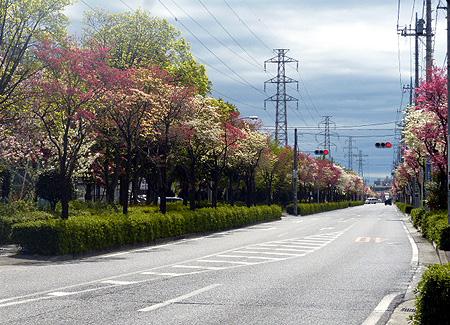 413花水木通り