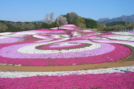 415芝桜公園