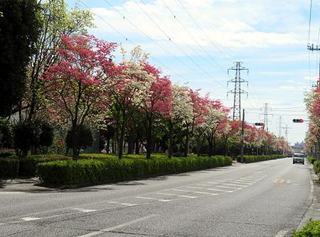 416今朝の花水木通り1