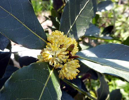 421ロ-リエの花