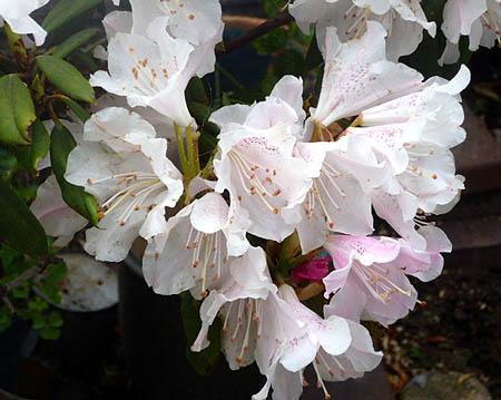 421父の石楠花