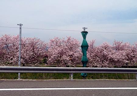425行き小布施桜4