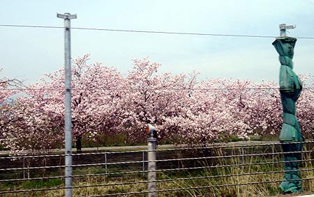 425行き小布施桜2