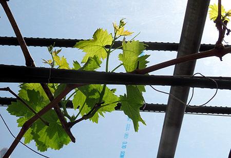 430葡萄の芽吹き