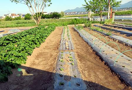 56夫畑トウモロコシ
