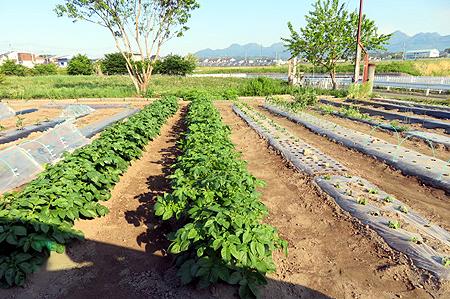 56夫畑ジャガイモ・トウモロコシ