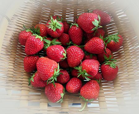 519イチゴ収穫