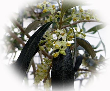 529オリ-ブの花