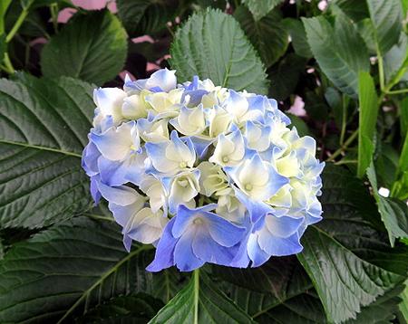 62紫陽花2