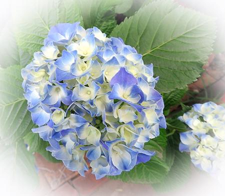 62紫陽花1