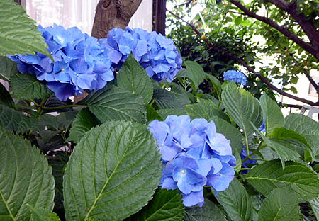 617紫陽花