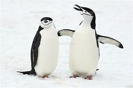 715ひげペンギン