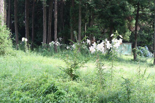 茨城の自然 ヤマユリ