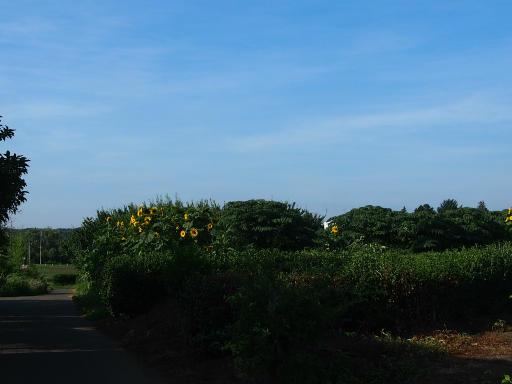 20180714・狭山ヶ丘散歩空20・ひまわり畑と空
