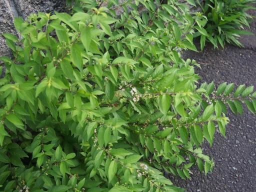 20180630・近所植物6・コムラサキ
