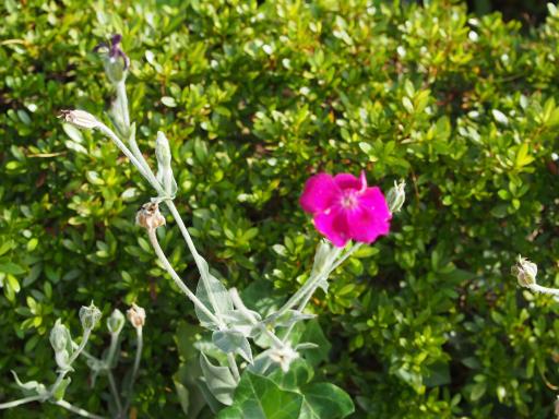 20180630・近所植物3・オシロイバナ